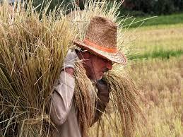 برنج ایرانی طارم خوشپخت صدری درجه یک(10کیلو) کد 113
