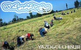 برنج ایرانی طارم درباری ممتاز (10کیلو)کد 116