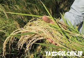 برنج سرلاشه هاشمی معطر اعلاء (10کیلو) کد 118